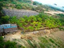 香蕉树在缅甸 图库摄影