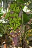 香蕉树在巴基斯坦信德省地区 免版税库存图片