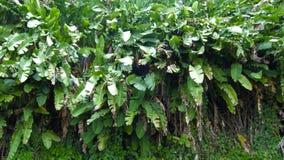 香蕉树墙壁创造绿色叶子的生存纹理  图库摄影