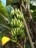 香蕉树束大绿色果子 免版税库存图片