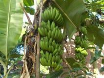 香蕉树束绿色果子 库存图片