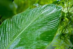 香蕉树湿叶子  免版税库存图片