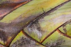 香蕉树纹理  库存照片