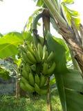 香蕉树绿色束果子 免版税图库摄影