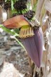 香蕉树花 免版税库存图片