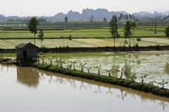 香蕉树被种植了在米领域的边缘在河内(越南)附近的乡下 免版税图库摄影