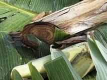 香蕉树词根的裁减 免版税库存图片