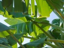 香蕉树绿色和黄色叶子与阴影阳光的在nat 免版税库存图片