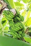 香蕉树 免版税库存图片