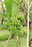 香蕉树 免版税图库摄影