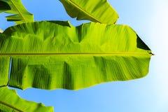香蕉棕榈树的叶子 免版税库存图片