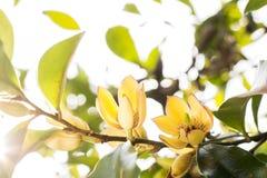 香蕉灌木花 库存照片