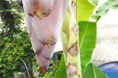 香蕉瓣的吠声的开花关闭有一朵自然海浪 免版税库存图片