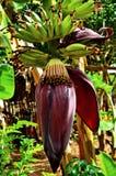 香蕉生长大蕉 免版税库存图片
