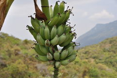 香蕉的 库存图片