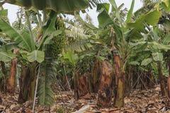 香蕉种植园在特内里费岛,冬天季节的加那利群岛 图库摄影