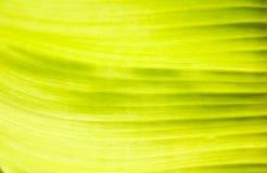 香蕉绿色叶子 库存照片