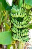 香蕉绿色树丛 图库摄影