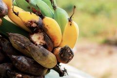 香蕉腐烂在农场 图库摄影