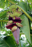 香蕉花和年轻香蕉在香蕉树 免版税图库摄影