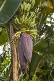 香蕉花在库尔纳,孟加拉国 免版税库存图片