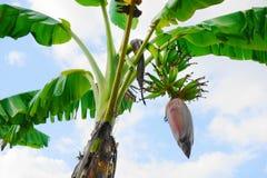香蕉花在蓝天背景的香蕉开花 免版税库存照片