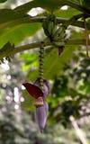 香蕉花 库存图片