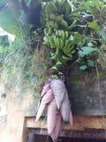香蕉花 免版税库存照片