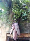 香蕉花 免版税库存图片