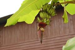 香蕉花 图库摄影