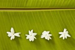 香蕉茉莉花叶子 免版税库存图片