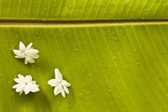 香蕉茉莉花叶子 图库摄影