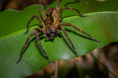 香蕉蜘蛛坐在亚马逊雨林的一片heliconia叶子,位于Cuyabeno国家公园 免版税图库摄影