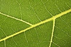 香蕉详细资料叶子 图库摄影