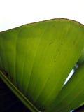 香蕉详细资料叶子 免版税库存照片