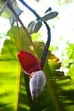 香蕉部分地被开张的重点开花 库存图片