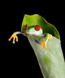 香蕉青蛙叶子 免版税库存图片