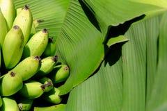 香蕉非常绿色查找 免版税图库摄影