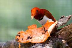 香蕉鸟吃 免版税库存照片