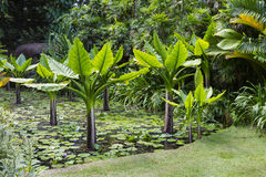 水香蕉,塞舌尔群岛 库存图片