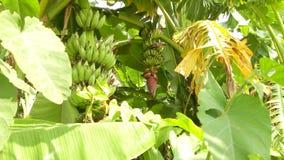 香蕉,香蕉庭院美好的绿色, 免版税库存照片