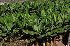 香蕉,香蕉庭院 免版税库存图片