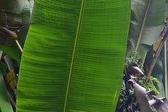 香蕉绿色叶子 免版税图库摄影