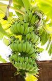 香蕉cdr10文件例证未成熟的向量 图库摄影
