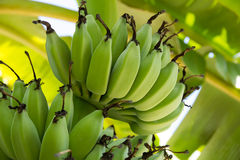 香蕉cdr10文件例证未成熟的向量 库存照片