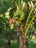 香蕉cdr10文件例证未成熟的向量 库存图片