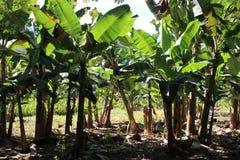 香蕉hoa khanh种植园省越南 免版税库存图片
