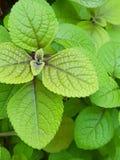 香蜂草叶子 库存图片