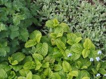 香蜂草在春天庭院里 库存照片