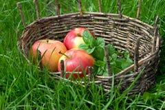 香蜂草的三根湿苹果和枝杈在一个老篮子的 图库摄影